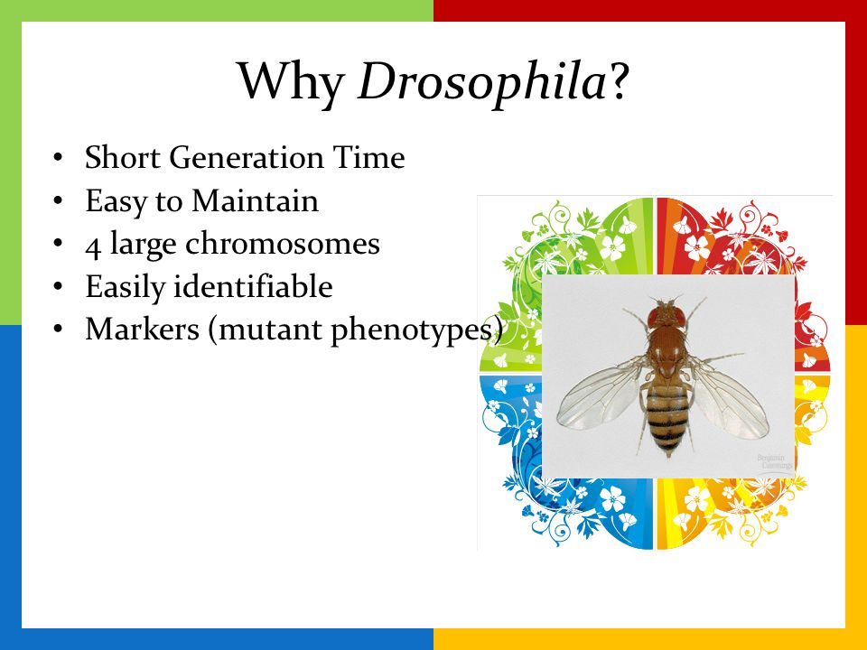Objective: Students will learn and apply the principles of Mendelian inheritance by experimentation with the fruit fly Drosophila melanogaster.
