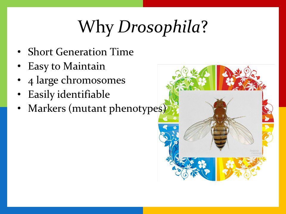 Why Drosophila? Short Generation Time Easy to Maintain 4 large chromosomes Easily identifiable Markers (mutant phenotypes)