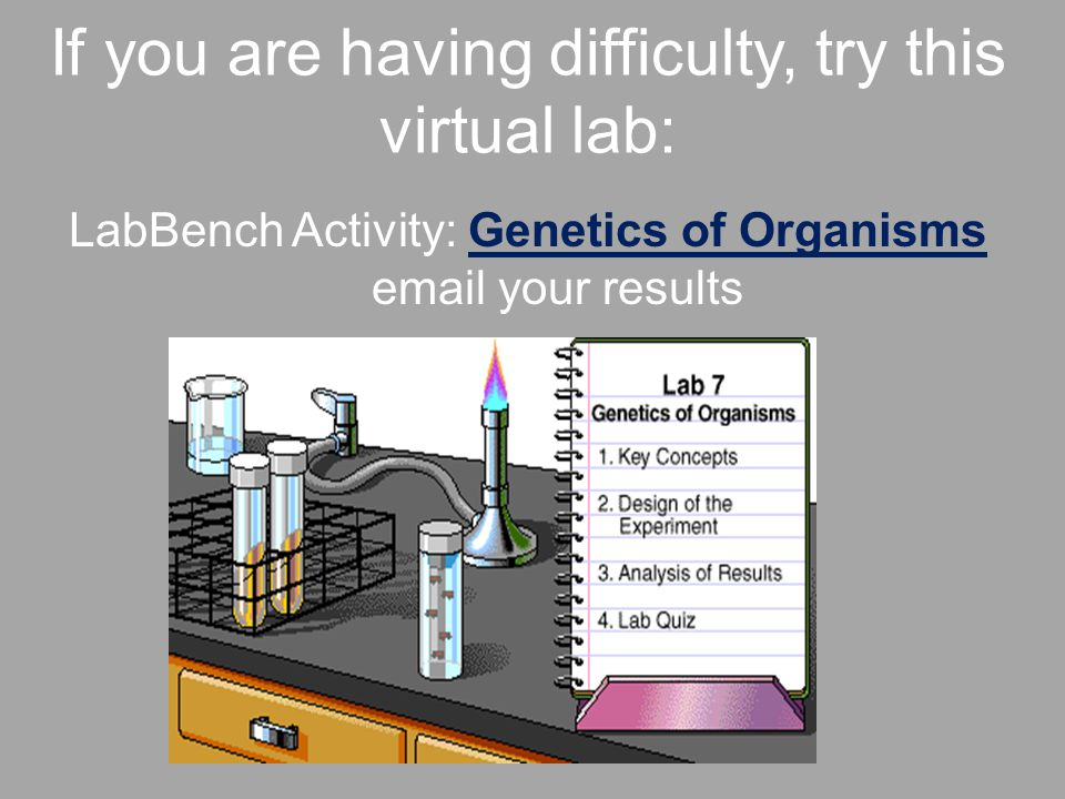 If you are having difficulty, try this virtual lab: LabBench Activity: Genetics of Organisms email your resultsGenetics of Organisms