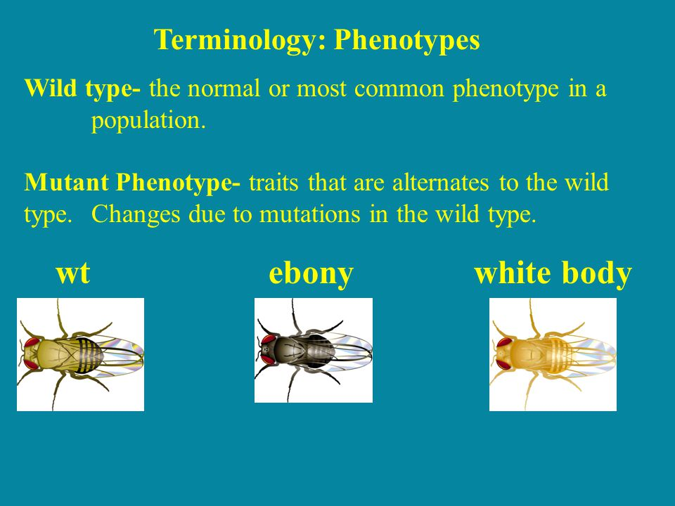 wtebonywhite body Wild type- the normal or most common phenotype in a population. Mutant Phenotype- traits that are alternates to the wild type. Chang