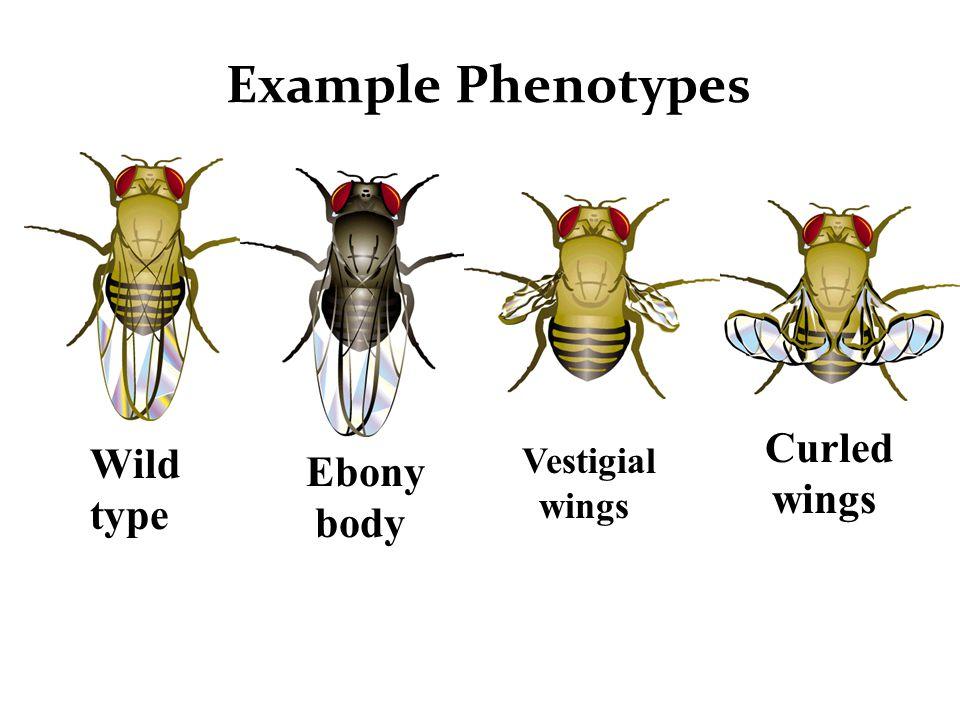 Wild type vs. 'white eye' phenotype WT White eye mutant