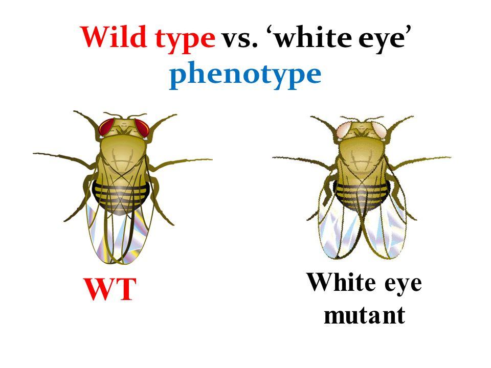 F 1 Genotypes vgvg ++vg+vg ++vg+vg F 1 Phenotypic Ratio: 4:4 wt Genotypic Ratio: 4:4 +vg