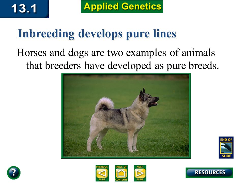 Section 13.1 Summary – pages 337 - 340 Horses and dogs are two examples of animals that breeders have developed as pure breeds. Inbreeding develops pu
