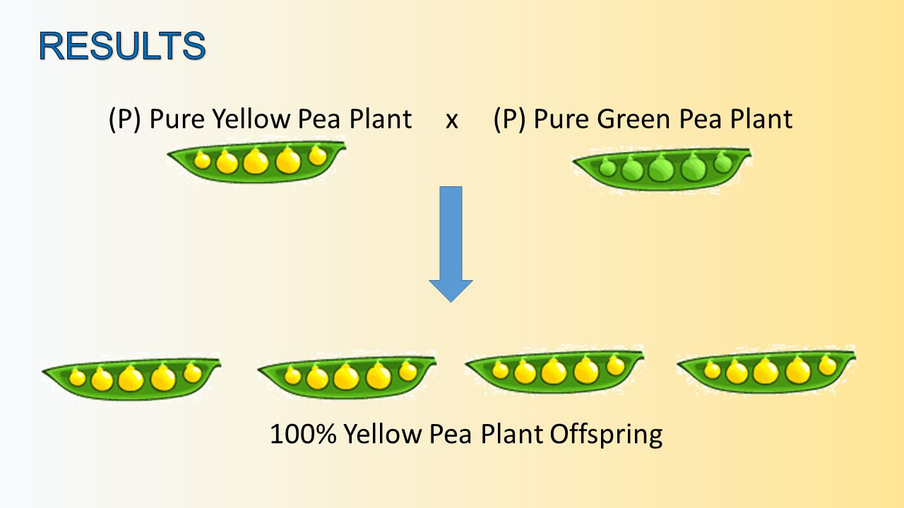 (P) Pure Yellow Pea Plant x (P) Pure Green Pea Plant 100% Yellow Pea Plant Offspring