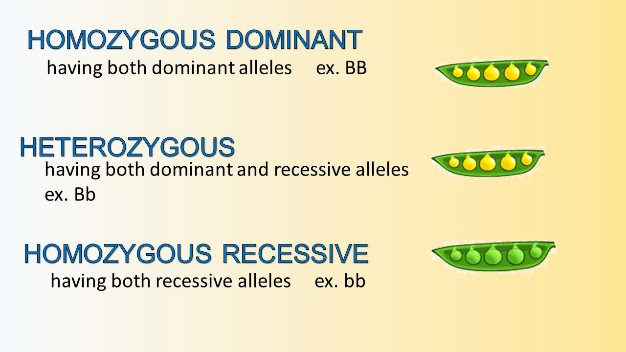 having both dominant alleles ex. BB having both recessive alleles ex.