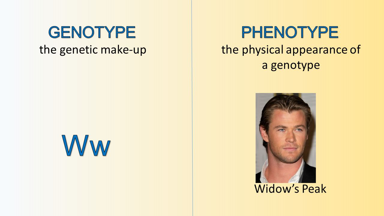 the genetic make-upthe physical appearance of a genotype Widow's Peak