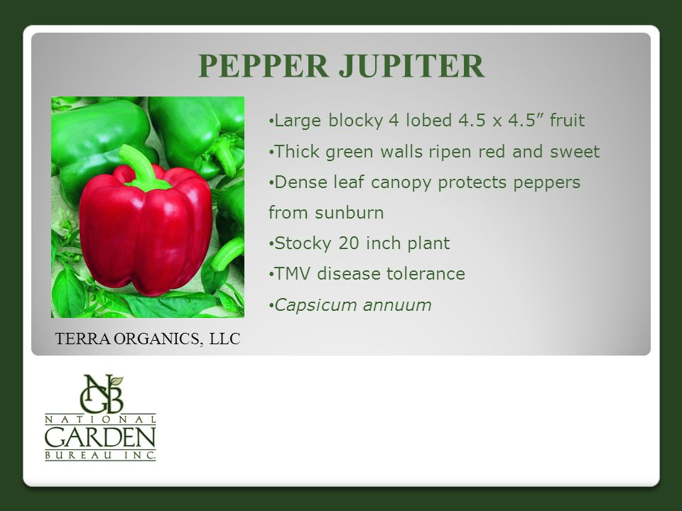 PEPPER JUPITER Large blocky 4 lobed 4.5 x 4.5 fruit Thick green walls ripen red and sweet Dense leaf canopy protects peppers from sunburn Stocky 20 inch plant TMV disease tolerance Capsicum annuum TERRA ORGANICS, LLC