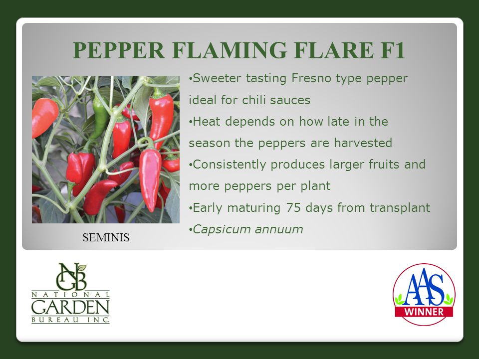 PEPPER FLAMING FLARE F1 Sweeter tasting Fresno type pepper ideal for chili sauces Heat depends on how late in the season the peppers are harvested Consistently produces larger fruits and more peppers per plant Early maturing 75 days from transplant Capsicum annuum SEMINIS