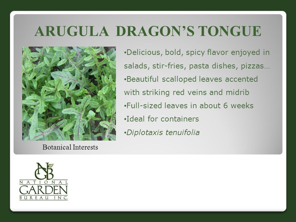 ARUGULA DRAGON'S TONGUE Botanical Interests Delicious, bold, spicy flavor enjoyed in salads, stir-fries, pasta dishes, pizzas… Beautiful scalloped leaves accented with striking red veins and midrib Full-sized leaves in about 6 weeks Ideal for containers Diplotaxis tenuifolia