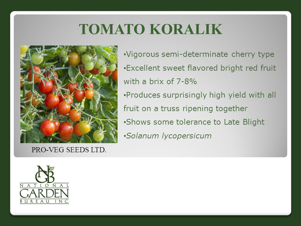 TOMATO KORALIK Vigorous semi-determinate cherry type Excellent sweet flavored bright red fruit with a brix of 7-8% Produces surprisingly high yield with all fruit on a truss ripening together Shows some tolerance to Late Blight Solanum lycopersicum PRO-VEG SEEDS LTD.