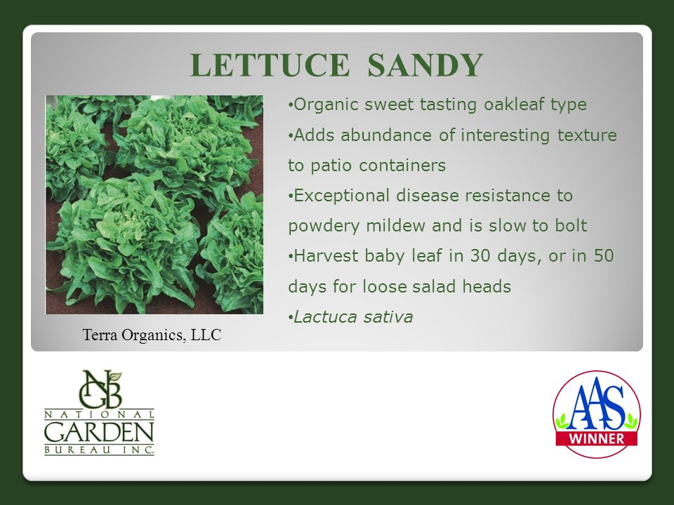 LETTUCE SANDY Organic sweet tasting oakleaf type Adds abundance of interesting texture to patio containers Exceptional disease resistance to powdery mildew and is slow to bolt Harvest baby leaf in 30 days, or in 50 days for loose salad heads Lactuca sativa Terra Organics, LLC