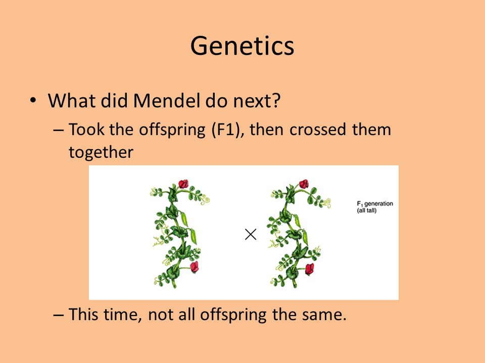 Genetics What did Mendel do next? – Took the offspring (F1), then crossed them together – This time, not all offspring the same.