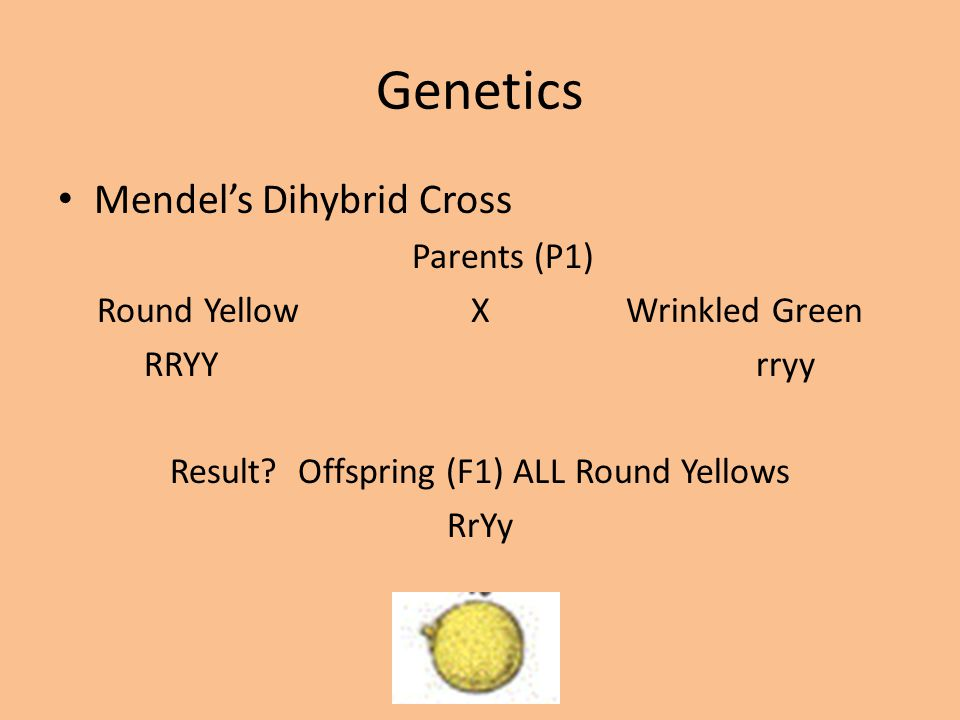 Genetics Mendel's Dihybrid Cross Parents (P1) Round Yellow X Wrinkled Green RRYY rryy Result? Offspring (F1) ALL Round Yellows RrYy