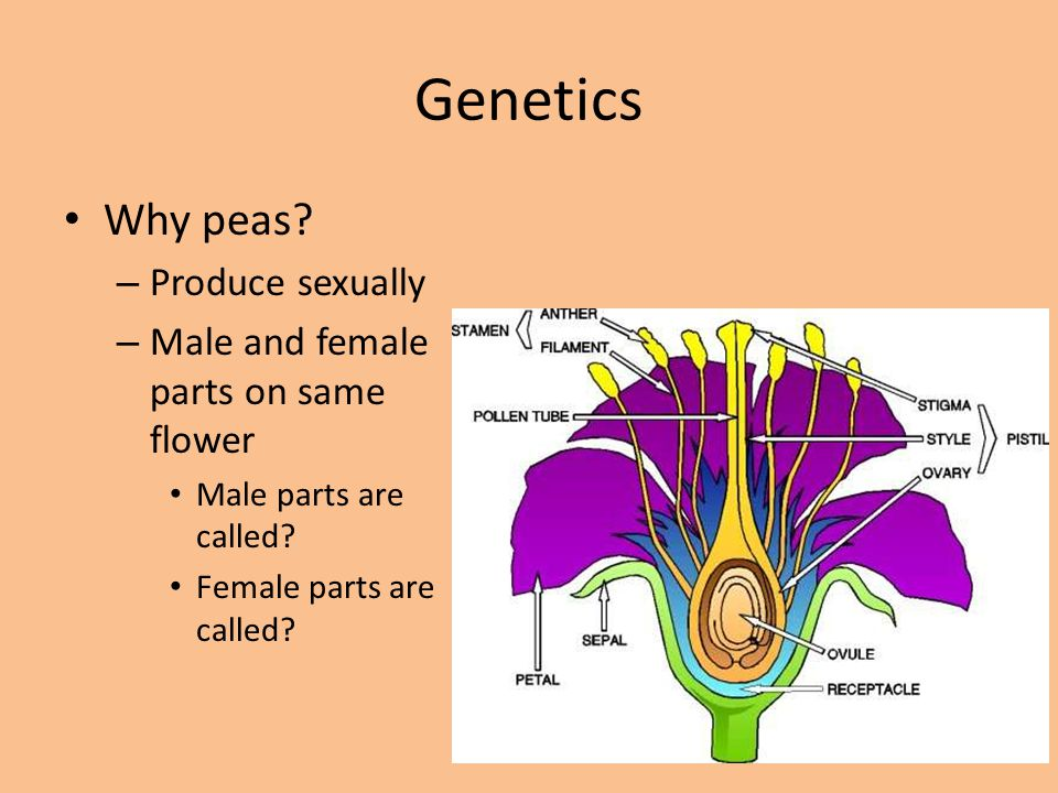 Genetics Why peas? – Produce sexually – Male and female parts on same flower Male parts are called? Female parts are called?