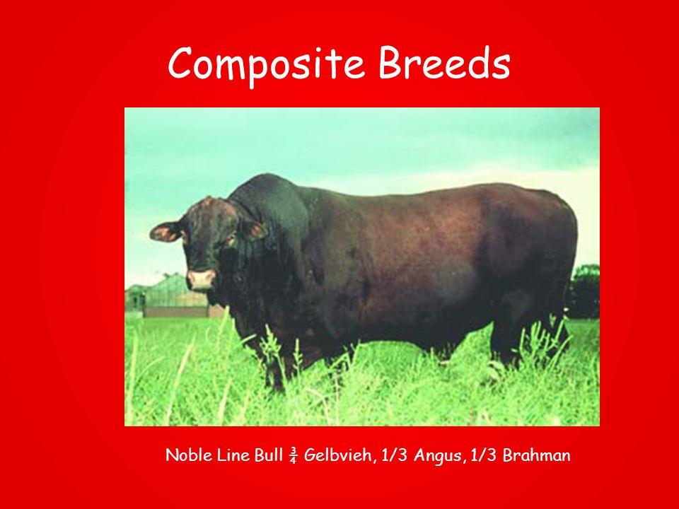 Composite Breeds Noble Line Bull ¾ Gelbvieh, 1/3 Angus, 1/3 Brahman