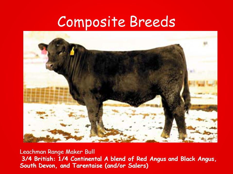 Composite Breeds Leachman Range Maker Bull 3/4 British: 1/4 Continental A blend of Red Angus and Black Angus, South Devon, and Tarentaise (and/or Salers)