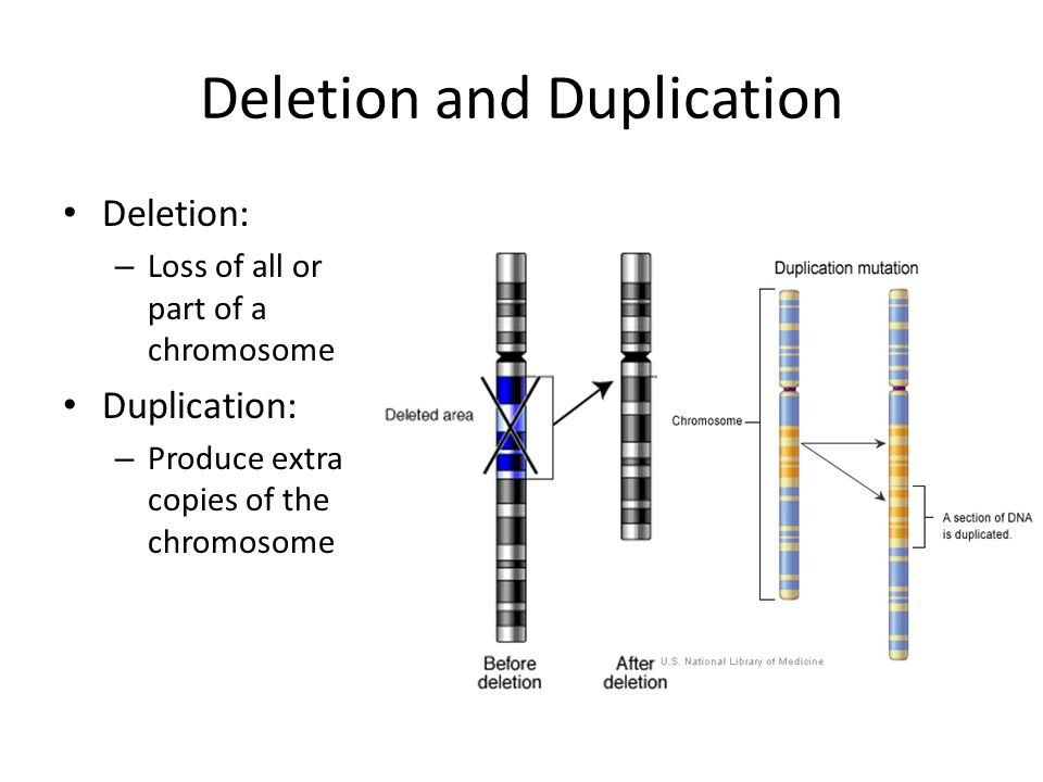 Deletion and Duplication Deletion: – Loss of all or part of a chromosome Duplication: – Produce extra copies of the chromosome