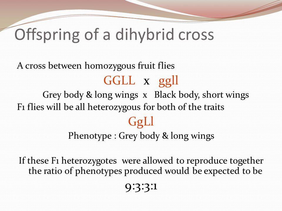 Offspring of a dihybrid cross A cross between homozygous fruit flies GGLL x ggll Grey body & long wings x Black body, short wings F1 flies will be all