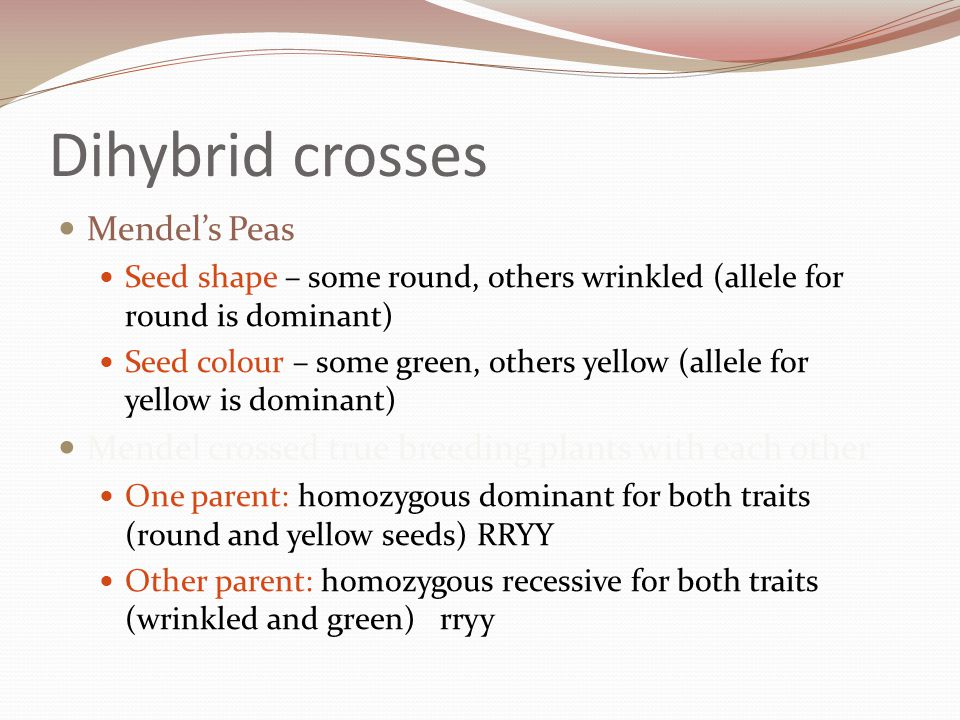 When both parents are homozgous – all the F1 offspring are the same genotype and phenotype R = allele for round peas r = allele for wrinkled peas Y = allele for yellow peas y = allele for green peas Parent phenotypes Round yellow Green wrinkled Parent genotypes RRYYrryy Parent gametes RYry F1 genotypes RrYy F1 phenotypes Round yellow