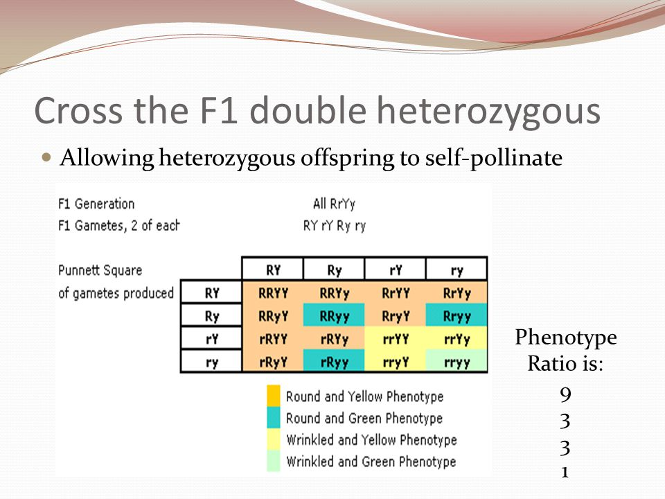 Dihybrid Phenotype Ratios Homozygous parents AABB x aabb All F1 offspring the same Heterozygous parents AaBb x AaBb 9:3:3:1 phenotype ratio 9AB 3Ab 3aB 1ab  A new shuffling of the alleles has created a new combination which does not match either of the parents' genotypes.