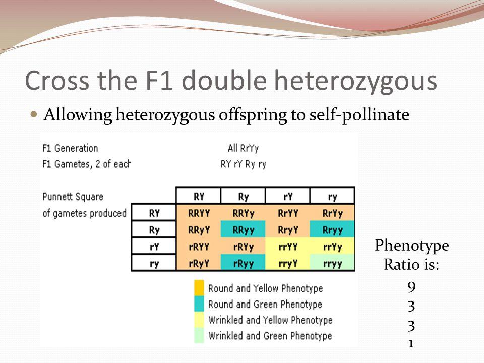 Cross the F1 double heterozygous Allowing heterozygous offspring to self-pollinate Phenotype Ratio is: 9 3 1