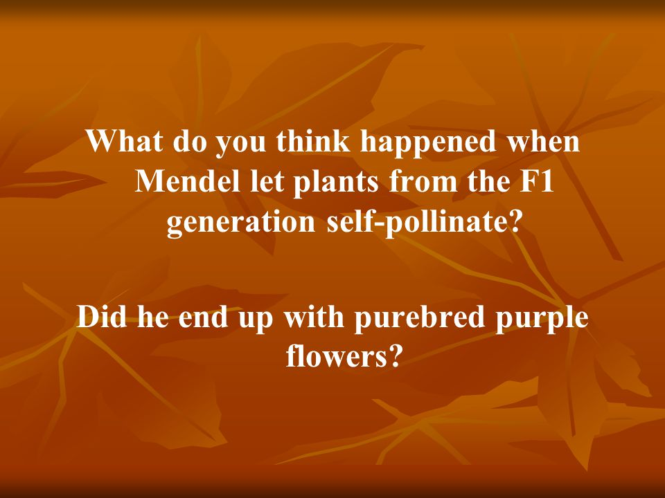 What do you think happened when Mendel let plants from the F1 generation self-pollinate? Did he end up with purebred purple flowers?