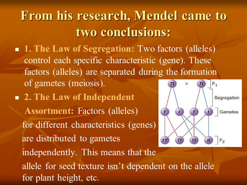 From his research, Mendel came to two conclusions: 1. The Law of Segregation: Two factors (alleles) control each specific characteristic (gene). These