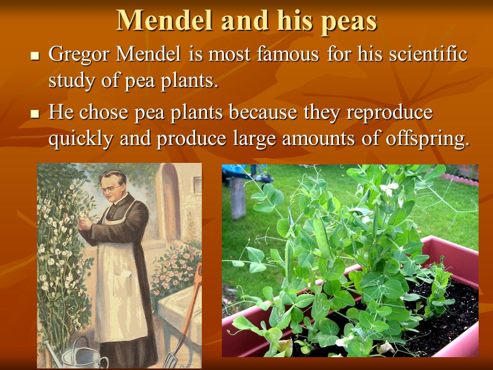 Mendel and his peas Gregor Mendel is most famous for his scientific study of pea plants. Gregor Mendel is most famous for his scientific study of pea