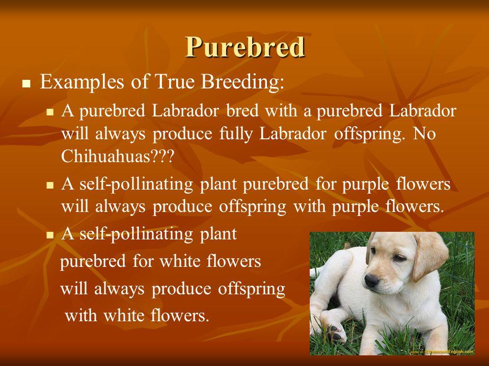 Purebred Examples of True Breeding: A purebred Labrador bred with a purebred Labrador will always produce fully Labrador offspring. No Chihuahuas??? A