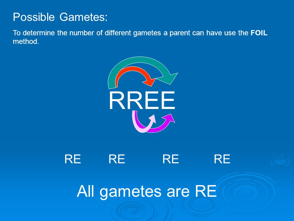 Possible Gametes: To determine the number of different gametes a parent can have use the FOIL method. RREE RE All gametes are RE