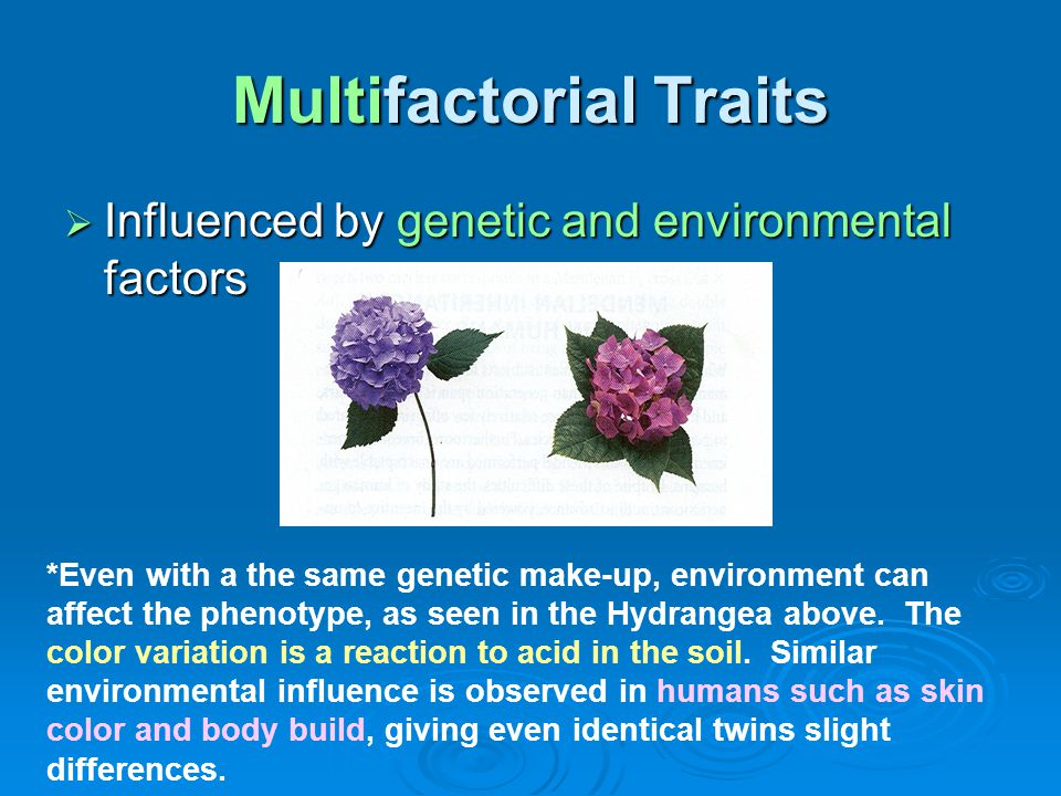 Multifactorial Traits  Influenced by genetic and environmental factors *Even with a the same genetic make-up, environment can affect the phenotype, a