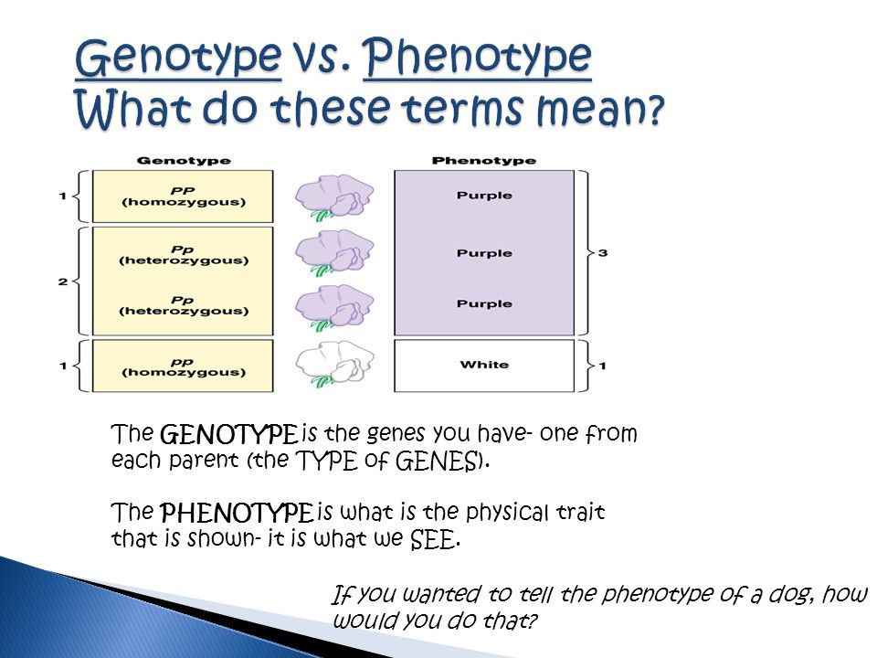 The GENOTYPE is the genes you have- one from each parent (the TYPE of GENES). The PHENOTYPE is what is the physical trait that is shown- it is what we
