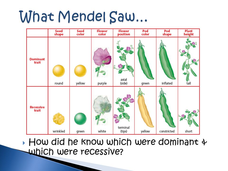  How did he know which were dominant & which were recessive?