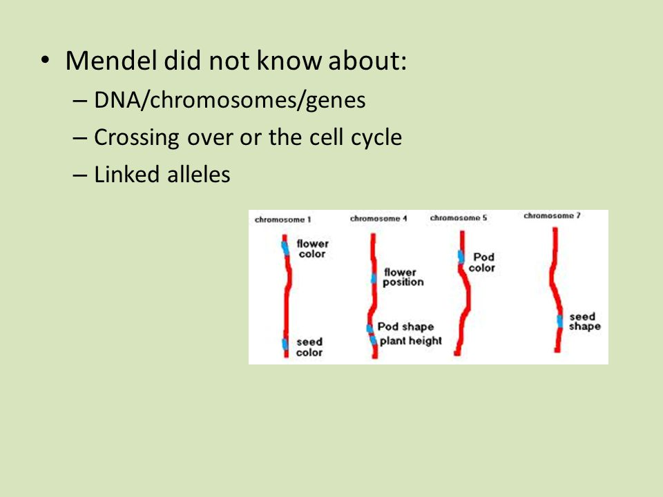 Mendel did not know about: – DNA/chromosomes/genes – Crossing over or the cell cycle – Linked alleles