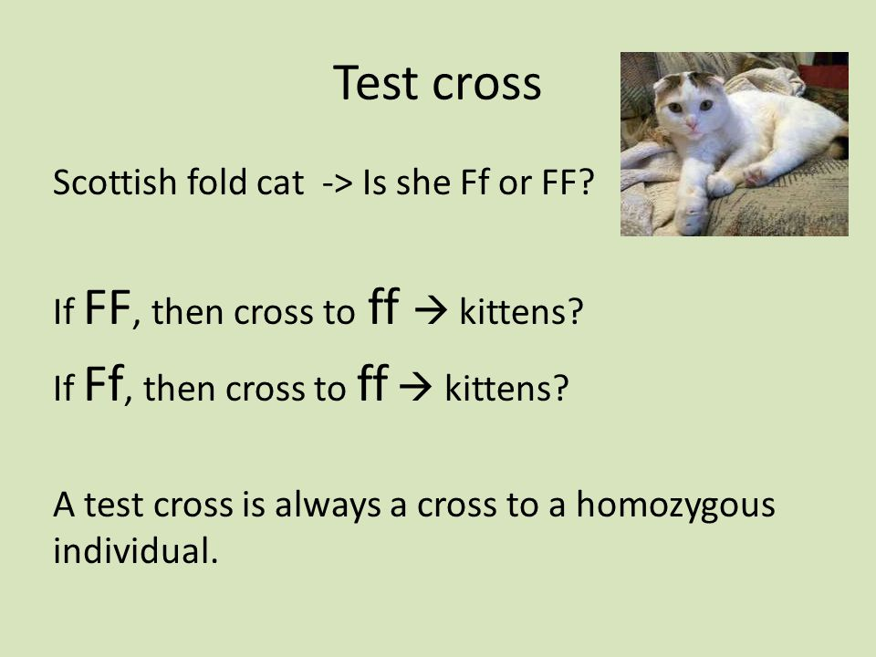 Test cross Scottish fold cat -> Is she Ff or FF. If FF, then cross to ff  kittens.