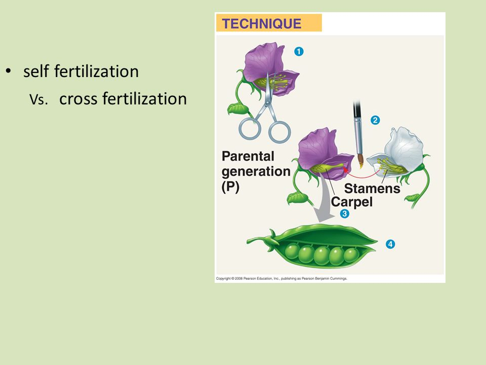 self fertilization Vs. cross fertilization