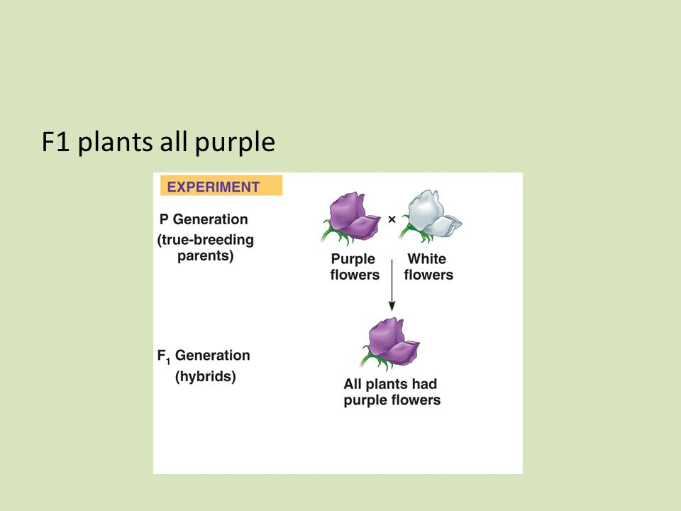 F1 plants all purple