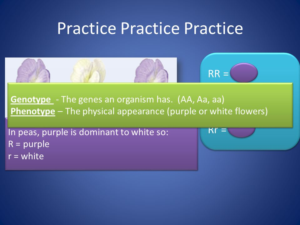 Practice Practice Practice In peas, purple is dominant to white so: R = purple r = white In peas, purple is dominant to white so: R = purple r = white RR = .