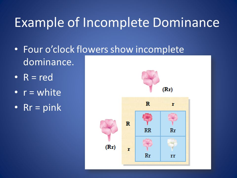 Example of Incomplete Dominance Four o'clock flowers show incomplete dominance. R = red r = white Rr = pink
