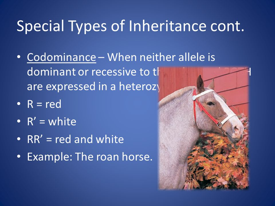 Special Types of Inheritance cont. Codominance – When neither allele is dominant or recessive to the other and BOTH are expressed in a heterozygote. R