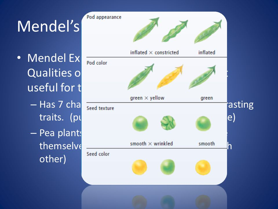 Mendel's Experiment Mendel Experimented with pea plants.