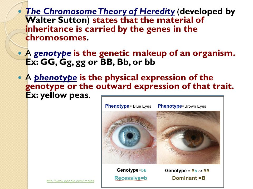 The Chromosome Theory of Heredity (developed by Walter Sutton) states that the material of inheritance is carried by the genes in the chromosomes. A g