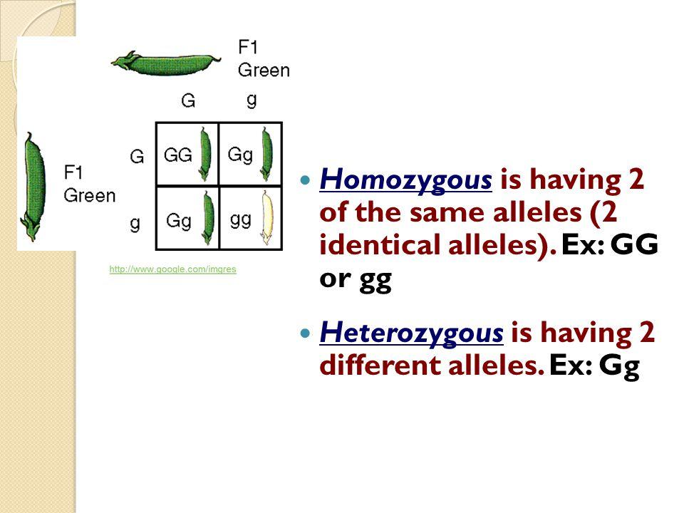 Homozygous is having 2 of the same alleles (2 identical alleles). Ex: GG or gg Heterozygous is having 2 different alleles. Ex: Gg