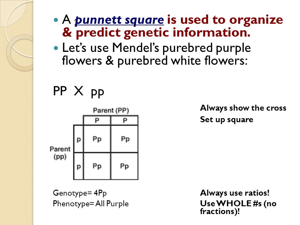 A punnett square is used to organize & predict genetic information. Let's use Mendel's purebred purple flowers & purebred white flowers: PP X pp Alway