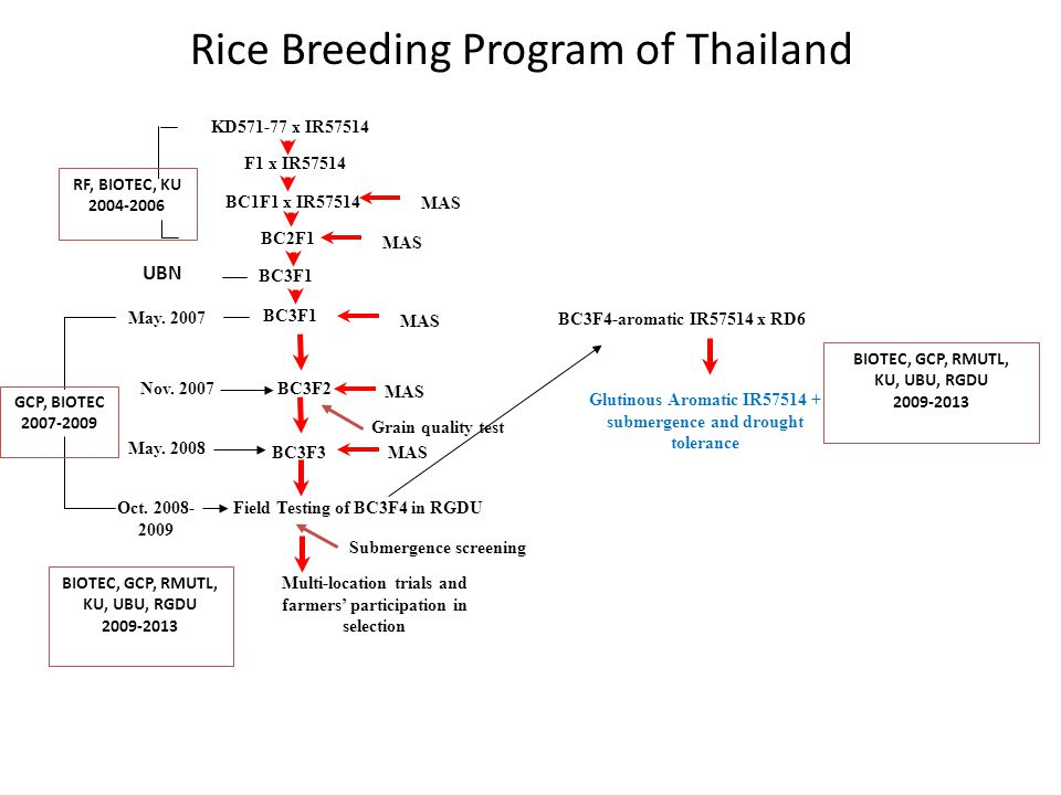 Rice Breeding Program of Thailand KD571-77 x IR57514 F1 x IR57514 BC1F1 x IR57514 BC2F1 BC3F1 MAS BC3F1 UBN MAS BC3F2 BC3F3 Field Testing of BC3F4 in RGDU MAS Nov.