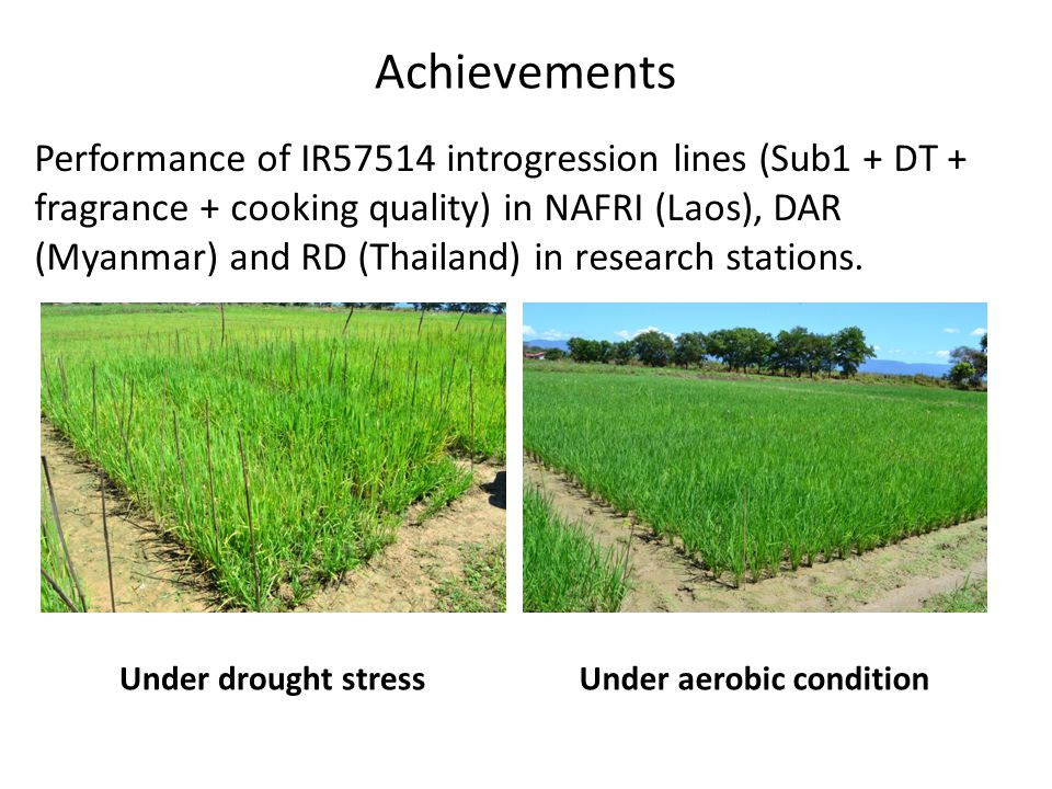 Achievements Under drought stressUnder aerobic condition Performance of IR57514 introgression lines (Sub1 + DT + fragrance + cooking quality) in NAFRI