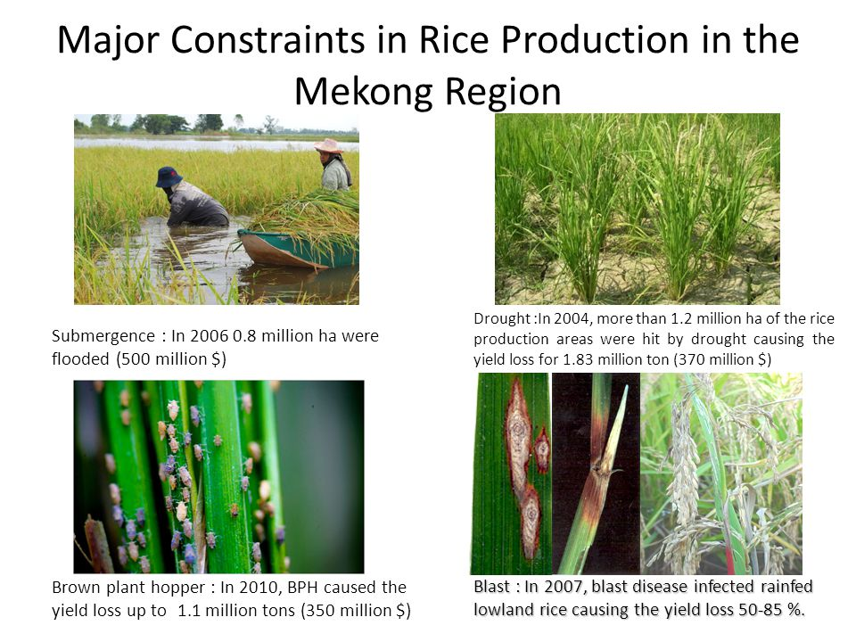 Major Constraints in Rice Production in the Mekong Region Submergence : In 2006 0.8 million ha were flooded (500 million $) Brown plant hopper : In 20