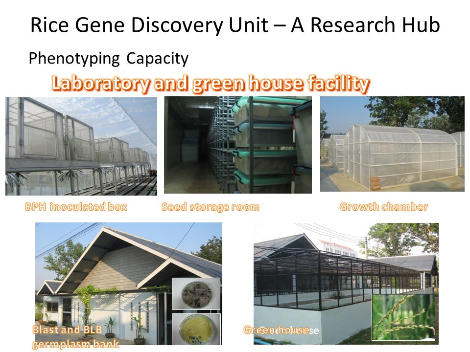 Rice Gene Discovery Unit – A Research Hub Phenotyping Capacity Green house