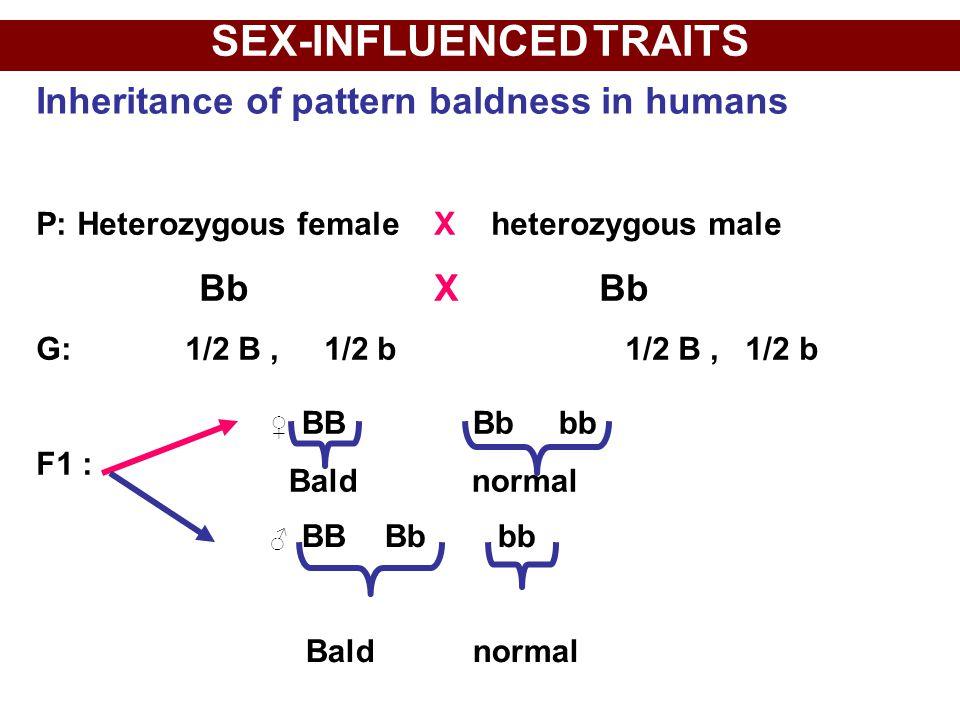 SEX-INFLUENCED TRAITS P: Heterozygous female X heterozygous male Bb X Bb G: 1/2 B, 1/2 b 1/2 B, 1/2 b F1 : Inheritance of pattern baldness in humans ♀