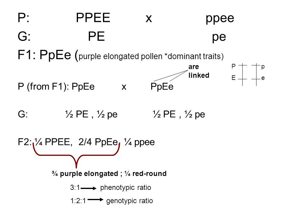 P: PPEE x ppee G: PE pe F1: PpEe ( purple elongated pollen *dominant traits) P (from F1): PpEe x PpEe G: ½ PE, ½ pe ½ PE, ½ pe F2: ¼ PPEE, 2/4 PpEe, ¼